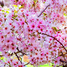 Lem Kertas Terbaik Untuk Menciptakan Bunga Sakura Dari Kertas Krep