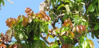 pohon matoa